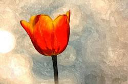 Amajeto Tulips